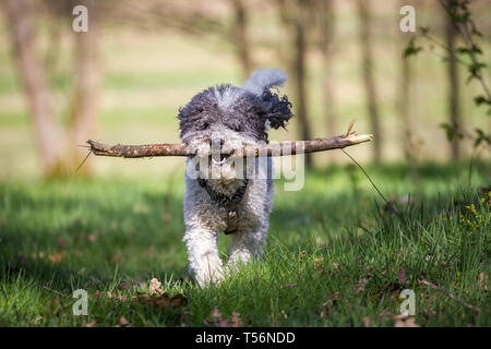 Miniature poodle (Kleinpudel) on a sunny spring day - Stock Photo