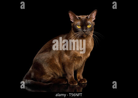 Brown Cat sitting and Gazing on isolated black background, side view, Sable Burmese - Stock Photo