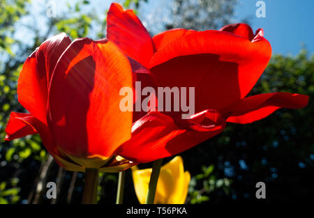 Closeup of Bright Red Tulip Flowers Kingsblood in a Cheshire Garden England United Kingdom UK - Stock Photo