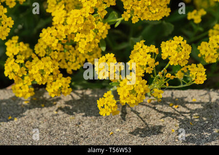 close up on mountain alison - alyssum montanum - Stock Photo