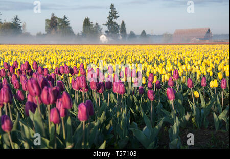 Morning tulip fields misty morning with barn.  Purple and yellow spring tulip bulbs in bloom in this spring landscape.  Misty morning with fog and a b - Stock Photo