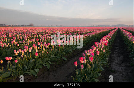 Pink tulip field landscape at dawn in this beautiful nature picture.  Morning fog is rising in the background areas with mountains in the background.  - Stock Photo