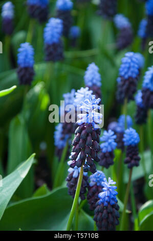 Purple flower grape hyacinth muscari latifolium, an unusual variety spring bulb with two tone purples, a lighter one at the top of the spring flower. - Stock Photo
