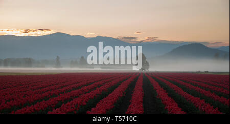 Stunning landscape of dawn breaking over the mountains upon red tulip fields in spring.  Tree and cattle in the background with a foggy mist rising.   - Stock Photo