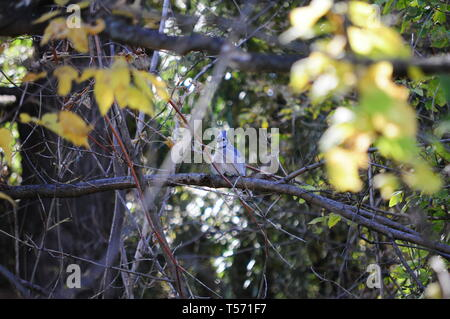 Blue jay bird sitting on the branch of the tree in the park / forest. - Stock Photo