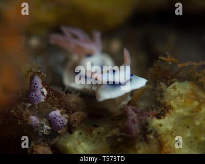 Chromodoris lochi nudibranch on a reef in North Sulawesi, Indonesia - Stock Photo