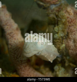 Pygmy cuttlefish on a reef in North Sulawesi, Indonesia - Stock Photo