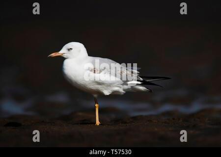 Slender-billed gull, Chroicocephalus genei, Jamnagar, Gujarat, India. - Stock Photo