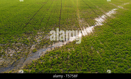 Young wheat seedlings growing in a field. Young green wheat growing in soil. - Stock Photo