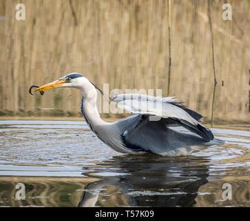 Heron catching eel, Welsh Wildlife Centre, Cilgerran, Wales - Stock Photo