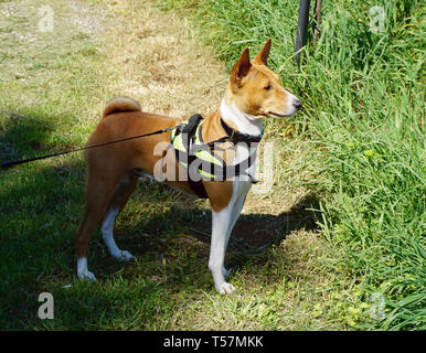 Dog Basenji breed from Africa, posed in nature and looks into the distance and listening - Stock Photo