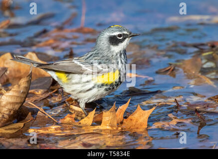 Yellow-rumped warbler (Setophaga coronata) male hunting at the edge of a lake during migration, Iowa, USA. - Stock Photo