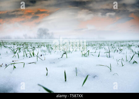 Farming in North. Frost-resistant winter wheat under first snow. Short winter day with clouds that are illuminated by low sun. Agricultural landscape  - Stock Photo