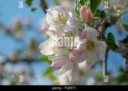 Blossoming branch of an apple tree in spring - Stock Photo