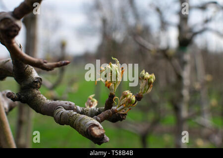 close up of a branch of an Apple tree in early spring, the buds from the tree will open. Photo is taken horizontally - Stock Photo
