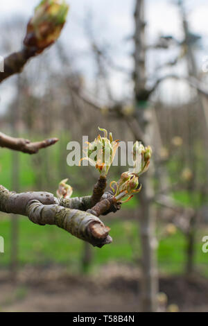 close up of a branch of an Apple tree in early spring, the buds from the tree will open. Photo is taken vertically with bokeh background - Stock Photo