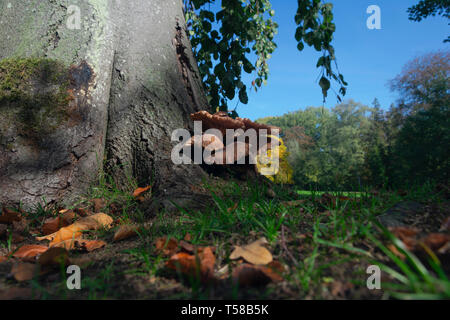 grey oyster mushroom grows on a tree in autumn - Stock Photo