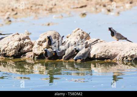 Male and female Namaqua doves (Oena capensis) drinking at waterhole, Kgalagadi Transfrontier Park, Kalahari, Northern Cape, South Africa - Stock Photo