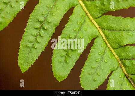 Issaquah, Washington, USA.  Licorice Fern (Polypodium glycyrrhiza) close-up of leaflets, also known as Many-footed Fern or Sweet Root. - Stock Photo