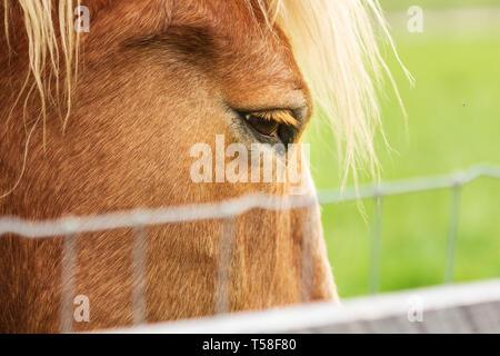 Close-up of a Belgian draft horse (Equus ferus caballus) - Stock Photo