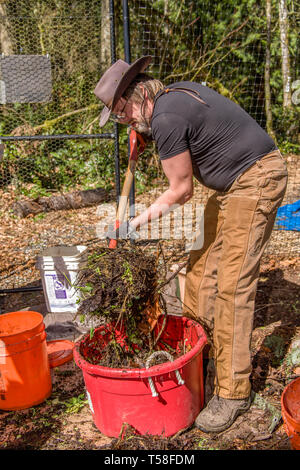 Issaquah, Washington, USA.  Man mixing with a compost fork an equal mix of 'greens' and 'browns', with enough water to resemble a damp sponge, in a co - Stock Photo