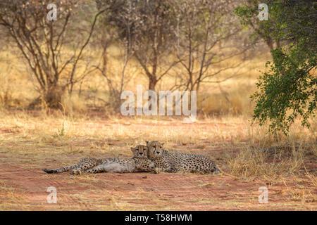 Cheetah - Acinonyx jubatus, beautiful carnivores from African bushes and savannas, Namibia.