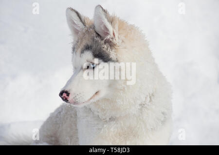 Cute siberian husky puppy is sitting on a white snow. Three month old. Pet animals. Purebred dog. - Stock Photo
