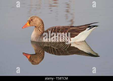 Greylag goose Anser anser on Cley marshes North Norfolk - Stock Photo