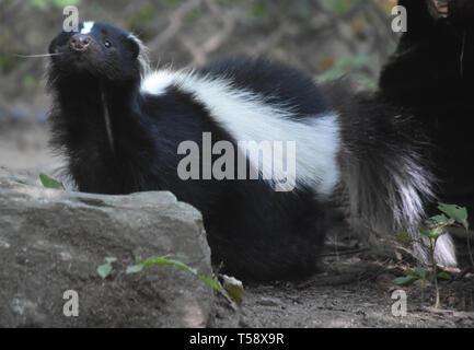 Skunk wiggling his wet little black nose. - Stock Photo