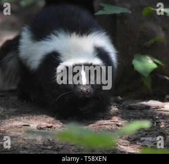 Skunk wiggling his little black nose. - Stock Photo