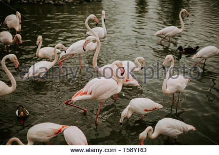 Group of flamingos and two ducks in the lake - Stock Photo
