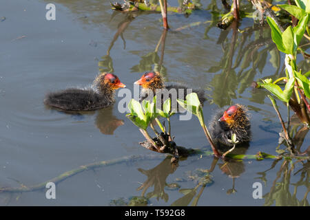 Young coot (Fulica atra) chicks. Three baby coots on the water during spring, UK. - Stock Photo