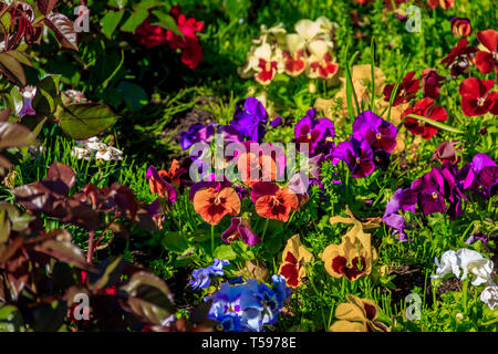 Pansy flowers. Beautiful bright summer flowers. City live decorations. Flower beds in the city - Stock Photo