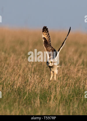 A wild Short Eared Owl (Asio Flammeus) take off from Cotswolds grasslands, Gloucestershire - Stock Photo