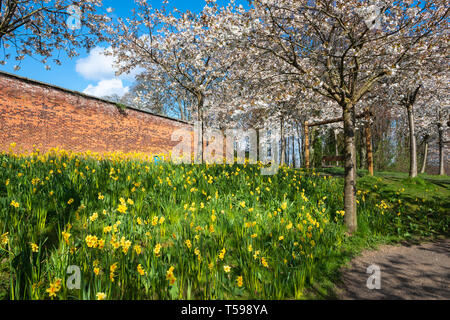 Cherry blossoms and yellow daffodils in Cherry Orchard at Alnwick Garden, Alnwick, Northumberland, England, UK - Stock Photo