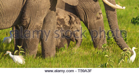 Small elephant baby calf surrounded by adult elephant legs Loxodonta africana on green grass close-up close up cattle egret white birds Amboseli - Stock Photo