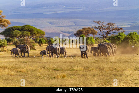 African elephant family group 'Loxodonta africana' cross dusty grassland with trees and hills in distance. Amboseli National Park, Kenya, East Africa