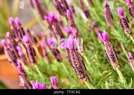 Lavander flower - Stock Photo