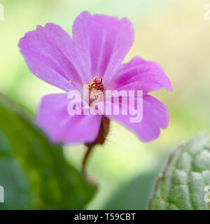 Pink Flower- Herb Robert a coomon garden weed - Stock Photo