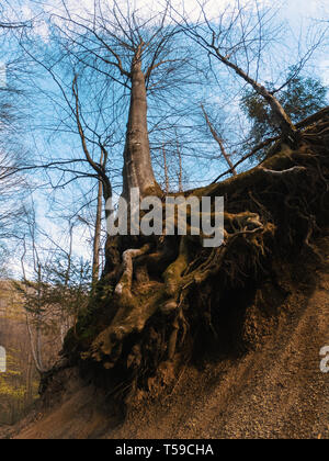 Tree roots wrapped around rocks covered with moss and ferns - Stock Photo