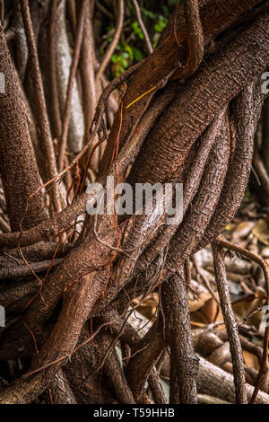 Ficus elastica multiple aerial and buttressing roots a close-up sepia picture - Stock Photo