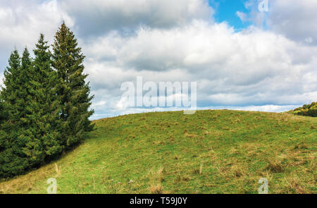 spruce trees on the edge of a grassy hill. lovely nature scenery on september cloudy day - Stock Photo
