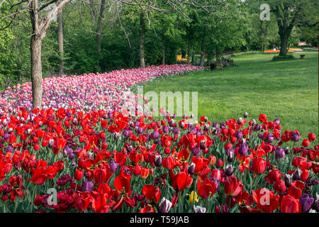 A stunning display of multiple colors tulip flowers in the Castle of Pralormo nearby Turin, Italy, where every year in April the Exhibition of Messer  - Stock Photo