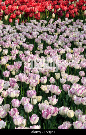 A wonderful flowerbed of white and pink tulip flowers in the Castle of Pralormo nearby Turin, Italy, where every year in April the Exhibition of Messe - Stock Photo