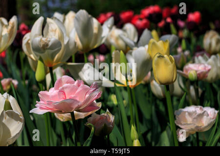 A low view point take of a flowerbed of multiple colours tulip flowers in the park of the castle of Pralormo nearby Turin, Italy. Here's where the exh - Stock Photo