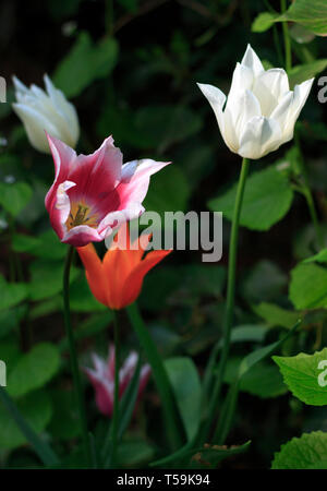 A beautiful display of multiple color tulip flowers in the woods surrounding the castle of Pralormo nearby Turin, Italy, where every year in April the - Stock Photo