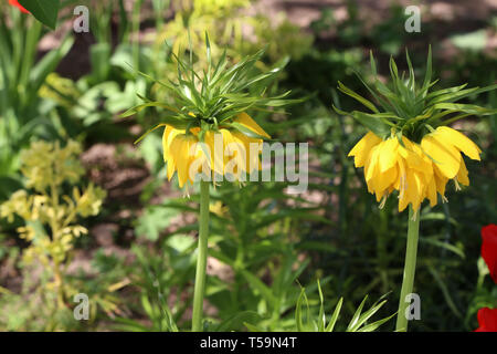 Yellow Crown Imperial or Kaisers Crown, fritillaria imperialis. - Stock Photo