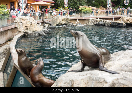 Sea lions on public display seeks attention from tourists as they feed the animals with fresh fish at Pacific Point Preserve, Seaworld in Orlando. - Stock Photo