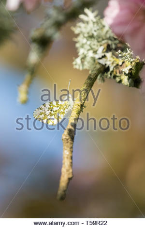 orange tip butterfly - anthocharis cardamines - beautifully camouflaged on the branch of a lichen covered tree - Scotland, UK - Stock Photo