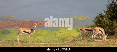 Thompson's Gazelle in front of water looking at camera - Stock Photo